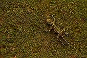 Collared Tree Lizard (Plica plica) on a tree camouflage - Kaw - Mountain Favard - French Guiana