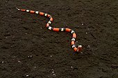 Portrait of False Coral Snake (Erythrolamprus aesculapii) - Nouragues inselberg - French Guiana