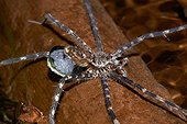Ancylometes spider with eggs - Nouragues station - French Guiana