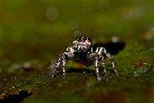 Tropical Salticidae - Nourague station - French Guiana