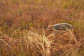 Long-nosed Armadillo - Nine-banded Armadillo (Dasypus novemcinctus) - Matiti savana - French Guiana