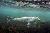 Grey seal, Halichoerus grypus, Phocidae, Cotes d'Armor, Bretagne, France