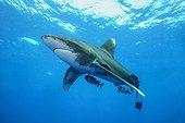 Oceanic whitetip shark, Carcharhinus longimanus, Carcharinidae, with pilotfishes, Naucrates ductor, Carangidae, Egypt, Red Sea