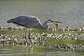 Grey Heron (Ardea cinerea) swallowing catfish he just capture