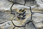 Dog footprint in cracked mud at low tide in the Bay of Somme, Picardy, Somme, France