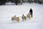 Huskies coupling - Ballon d'Alsace - Vosges mountains - France