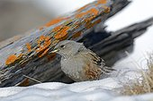 Alpine Accentor (Prunella collaris) in the Alps