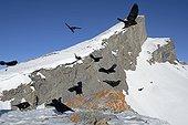 Alpine Chough (Pyrrhocorax graculus) in flight in the Alps