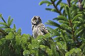 Long-eared Owl (Asio Otus) young perched in a tree