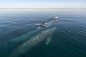 Baleine grise (Eschrichtius robustus), baleines grises dans la lagune Pacifique. Baja California Mexique.