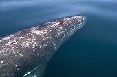 Baleine grise (Eschrichtius robustus), portrait de Baleine grise dans la lagune Pacifique. Baja California Mexique.