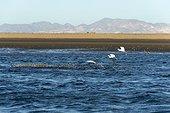 Aigrette neigeuse (Egretta thula) pêchant des petits alevins pourchassé à la surface par des Barracudas. Golfe de Californie, Mexique.