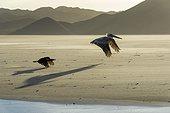 Brown pelican ( Pelecanus occidentalis) flying above the beach. Baja California, Mexico.