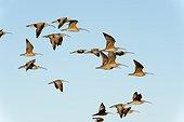 Long billed curlew (Numenius americanus) Baja California Mexico.