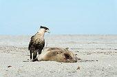 Caracara (Caracara cheriway) A Caracara feeding on the carcase of a sea lion Baja California Mexico.