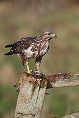 Common buzzard, (Buteo buteo), single bird on post eating Red-legged Partridge (Alectoris rufa), Warwickshire
