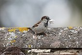 House sparrow, (Passer domesticus), single male with nest material, Warwickshire