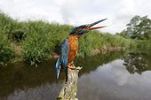 Kingfisher, (Alcedo atthis), single female displaying at another bird, Warwickshire