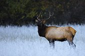 Manitoban Elk in frosted field, Cataloochee Valley, Great Smoky Mountains National Park, North Carolina, USA