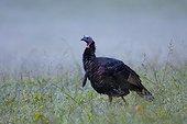 Eastern Wild Turkey, Cataloochee Valley, Great Smoky Mountains National Park, North Carolina, USA