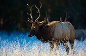 Manitoban elk, Cataloochee Valley, Great Smoky Mountains National Park, North Carolina, USA