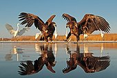 2 White-tailed Eagles with outstretched wings