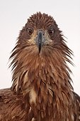 Portrait of a White-tailed Eagle ruffled