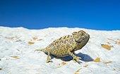 Namaqua chameleon (Chamaeleo namaquensis), Sand Dunes, Swakopmund, Erongo, Namibia, Africa