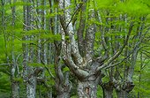Pollarded trees, Beech forest, Sarria, Gorbeia Natural Park, Alava, Basque Country, Spain