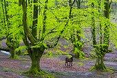 Beech forest, Otzarreta beech forest, Gorbeia Natural Park, Bizkaia, Basque Country, Spain, Europe