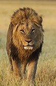 Lion (Panthera leo) - Male, walking. Savuti, Chobe National Park, Botswana.
