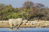 Black Rhinoceros (Diceros bicornis) - Also called Hook-lipped Rhinoceros. Male at a waterhole. Etosha National Park, Namibia.