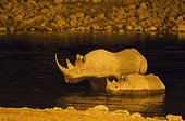 Black Rhinoceros (Diceros bicornis) - Also called Hook-lipped Rhinoceros. Cow with calf at night in the floodlit waterhole of the Okaukuejo Camp. Etosha National Park, Namibia.