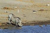 Warthog (Phacochoerus aethiopicus) - Female, drinking at a waterhole. Etosha National Park, Namibia.