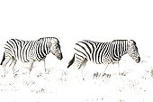 Burchell's Zebra (Equus quagga burchelli) - Roaming. Etosha National Park, Namibia. This image has been taken with a very high ASA setting, hence the overexposure.