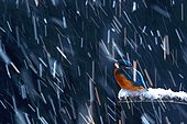 European Kingfisher on a snowy branch and snowfall in image motion. Photo taken in double exposure