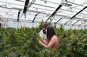 Marijuana organic grow. Pueblo, CO