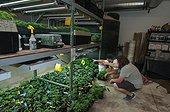 Cannabis plants carefully grown for marijuana dispensary. Pueblo, CO