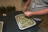 Marijuana being dried and cured at commercial grow. Pueblo, CO