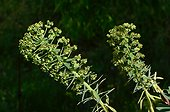 Spurge (Euphorbia characias) Labeaume, Ardèche, France