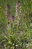 Orchis brûlé (Neotinea ustulata), Petit groupe de pieds en fleurs au printemps, Pelouse calcaire de Troussey, Lorraine, France
