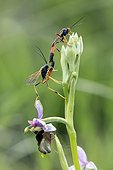 Ichneumon insidiosus, Couple sitting on a Spider orchid (Ophrys fuciflora) in spring Limestone Lawn Troussey, Lorraine, France