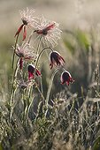 Red Pasque Flower (Pulsatilla rubra), Glowers group at the end of spring against the light with the morning dew, Glade Forest Pinatelle, Auvergne, France