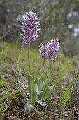 Orchis couleur de lait (Neotinea lactea), Trois pieds entiers en fleurs au printemps, Plaine des Maures, Vidauban, Provence-Alpes-Côte d'Azur, France