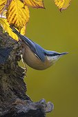 Wood Nuthatch (Sitta europaea), On an old trunk in fall, Country garden, Lorraine, France