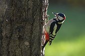 Great Spotted Woodpecker (Dendrocopos major), Clinging to a trunk in the fall in a country garden, Lorraine, France