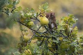 Red squirrel (Sciurus vulgaris), In a Quince tree (Cydonia vulgaris) inautumn in a country garden, Lorraine, France