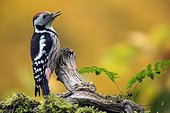 Middle Spotted Woodpecker (Dendrocopos medius), On a branch of dead wood in the fall in a country garden, Lorraine, France