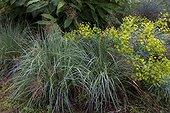 Schizachyrium (Schizachyrium scoparium) 'Blue heaven' and Spurge in summer