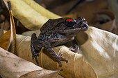 Thai spadefoot toad (Leptobrachium hendricksoni) Thailand